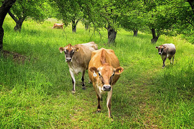 Hard Cider Wall Art - Photograph - Cows In Apple Orchard by Tom Singleton