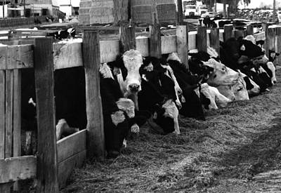 Photograph - Cows In Black And White  by Angie Tirado