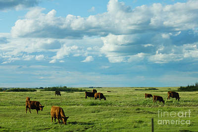 Photograph - Cows In Country by Donna L Munro