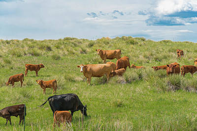 Cows In Field 3 Art Print