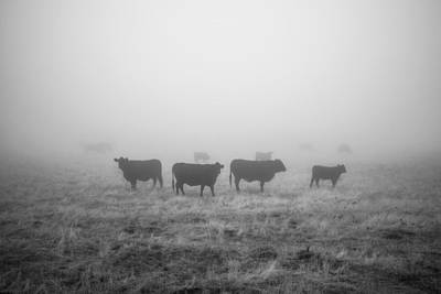 Photograph - Cows In Fog by Alexander Kunz
