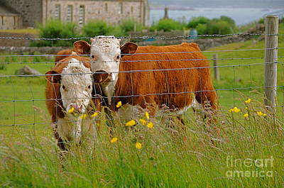 Photograph - Cows In Iona by Louise Fahy