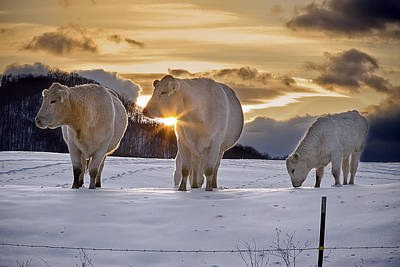 Photograph - Cows In Setting Sun by Ken Barrett