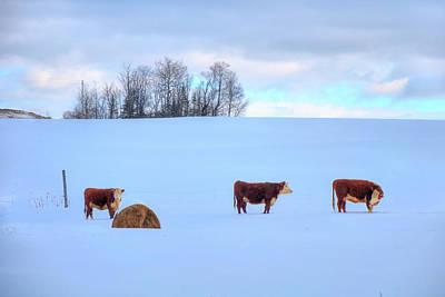 Photograph - Cows In Snow - A Vermont Winter by Joann Vitali