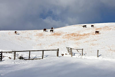 Photograph - Cows In Snow Pasture by Ken Barrett
