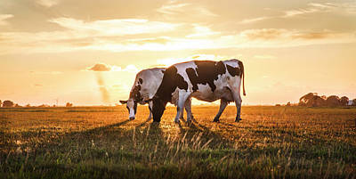 Photograph - Cows In Sunset Light On The Farm by Debra and Dave Vanderlaan