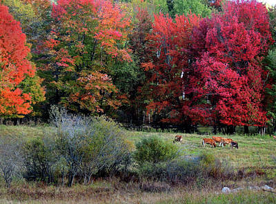 Photograph - Cows In The Autumn by Nancy Griswold