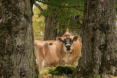 Photograph - Cows In The Field by Jeff Folger