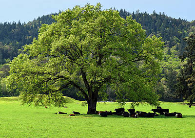 Photograph - Cows In The Shade Of A Big Tree by Michele Avanti