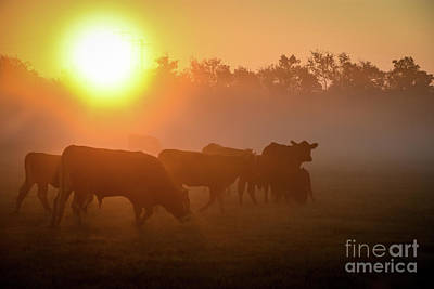 Photograph - Cows In The Sunrise Mist by Cheryl McClure