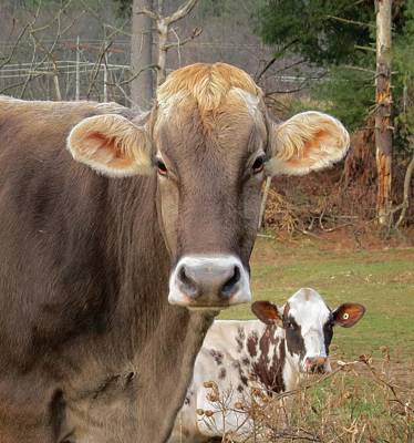Photograph - Cows Looking by MTBobbins Photography