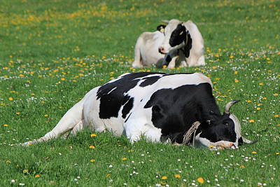 Photograph - Cows Of Fribourg Canton, Switzerland, Resting by Elenarts - Elena Duvernay photo