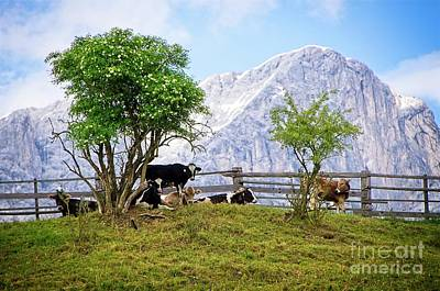 Photograph - Cows On Mountain Pasture In Tyrol Austria by Elzbieta Fazel