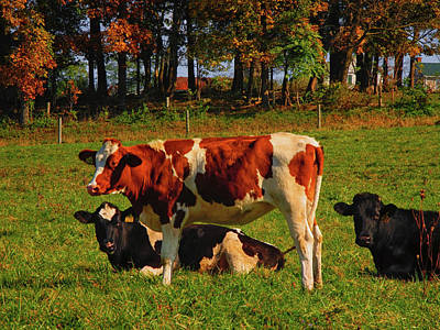 Photograph - Cows On The Pa At by Raymond Salani III