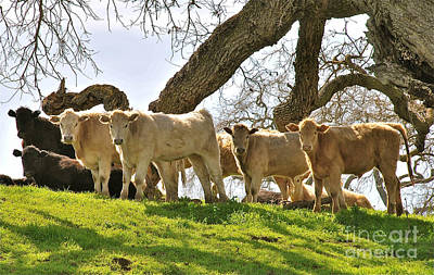 Photograph - Cows Under Oak #2 by Amy Fearn