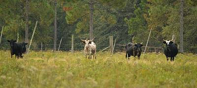 Photograph - Cows With Horns by rd Erickson