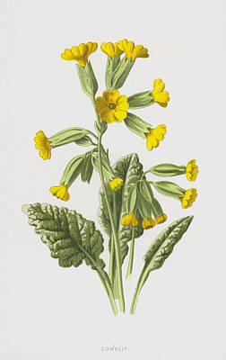 Botanical Drawing - Cowslip by Frederick Edward Hulme