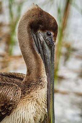 Coy Pelican Art Print by Jean Noren