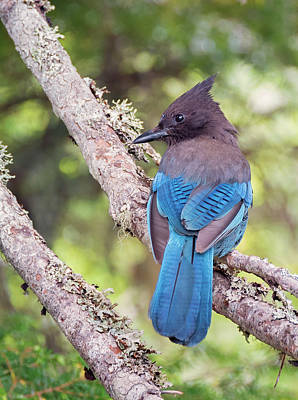 Photograph - Coy Steller's Jay by Loree Johnson