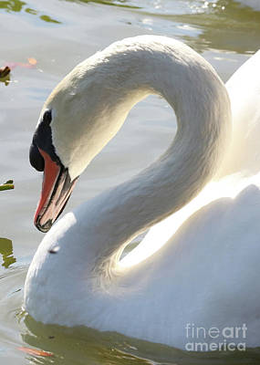 Photograph - Coy Swan by Carol Groenen