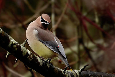 Photograph - Coy Waxwing by Inge Riis McDonald