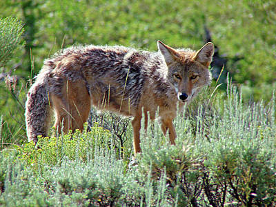 Photograph - Coyote 1 by Diana Douglass