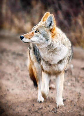Dan Beauvais Royalty-Free and Rights-Managed Images - Coyote 1050 by Dan Beauvais