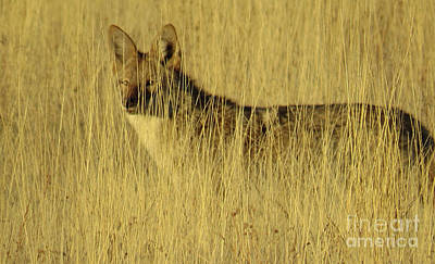 Photograph - Coyote 4 by Christy Garavetto