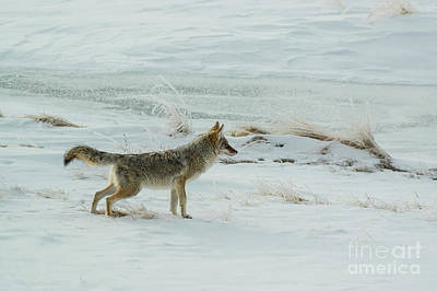 Photograph - Coyote - 8962 by Jerry Owens