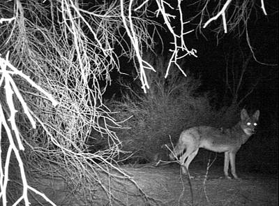 Photograph - Coyote At Night by Judy Kennedy
