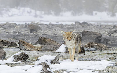 Photograph - Coyote At Thermals by Yeates Photography
