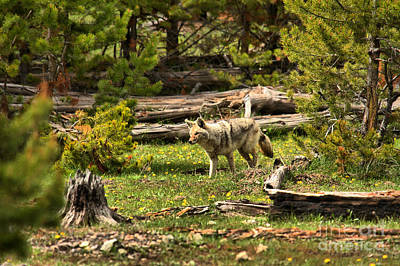 Photograph - Coyote Blending In Along The Madison River by Adam Jewell