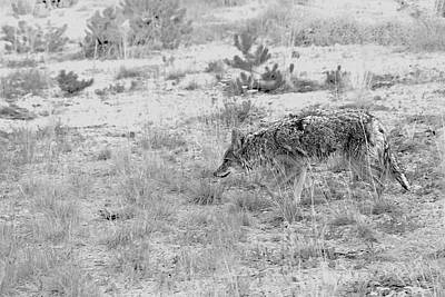 Photograph - Coyote Blending In by Christine Till
