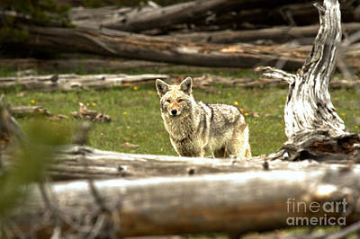 Photograph - Coyote Camouflaged Among The Trees by Adam Jewell