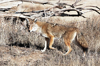 Photograph - Coyote by Catherine Lau