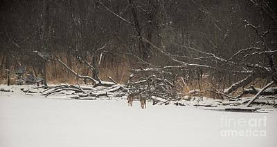 Photograph - Coyote Chasing Blue Herons by David Bearden