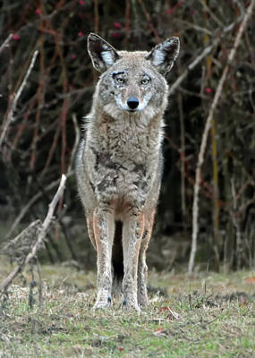 Photograph - Coyote by Chris LeBoutillier