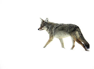 Coyote Crossing Art Print