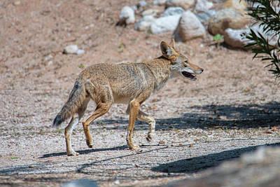 Photograph - Coyote by Dan McManus