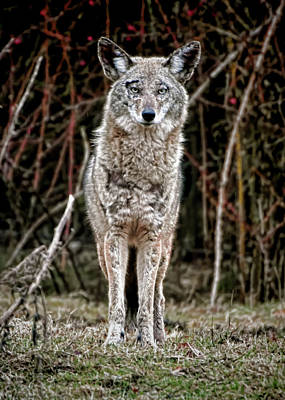 Photograph - Coyote Digital Art by Chris LeBoutillier