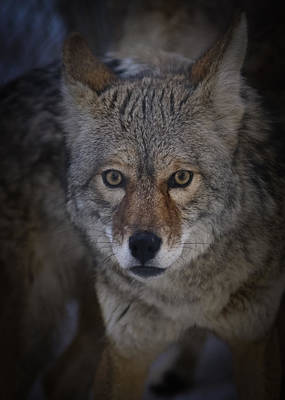 Photograph - Coyote Eyes by Ernie Echols