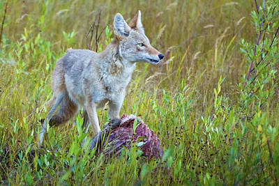 Photograph - Coyote Feeding On Elk by John De Bord