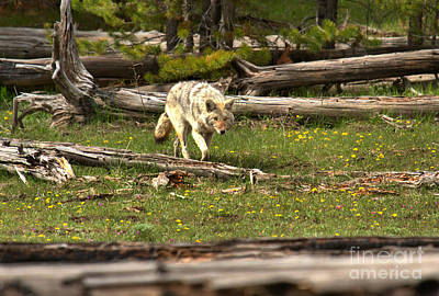 Photograph - Coyote Hunting Intensity by Adam Jewell