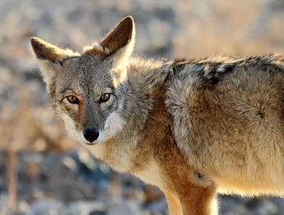 Photograph - Coyote In Death Valley National Park by Pierre Leclerc Photography