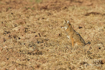 Photograph - Coyote In Field by Bryan Keil