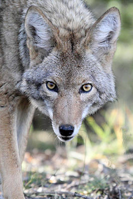 Photograph - Coyote In Grand Canyon Np by Pierre Leclerc Photography