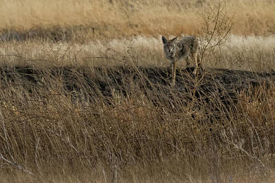 Photograph - Coyote In Malheur, No. 1 Cropped by Belinda Greb