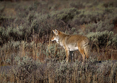 Photograph - Coyote In Teton National Park by Shirley Mitchell