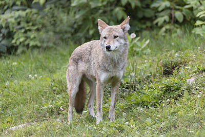 Photograph - Coyote In The Forest by Josef Pittner