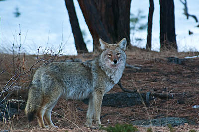 Photograph - Coyote In The Mountains by Cascade Colors